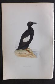 Morris 1870 Antique Bird Print. Black Guillemot